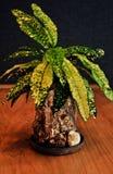 Codiaeuminstallatie in de eigengemaakte planter van de boomschors stock foto's
