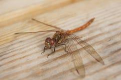 Codice della libellula su Immagine Stock Libera da Diritti
