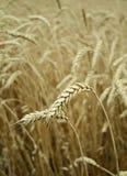 Codici categoria del granulo del frumento Fotografie Stock