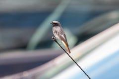 Codirosso spazzacamino, maschio, appollaiantesi sulla barretta dell'antenna con le automobili vaghe fotografia stock