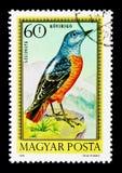 Codirossone comune (saxatilis) di Monticola, serie degli uccelli, circa 197 Fotografia Stock