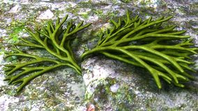 Codium. Is a genus of seaweed in the Chlorophyta of the Order Bryopsidales Stock Image
