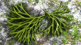 Codium. Is a genus of seaweed in the Chlorophyta of the Order Bryopsidales royalty free illustration