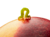 Codling moth caterpillar on peach. Macro of looper on red peach isolated on white Stock Photos
