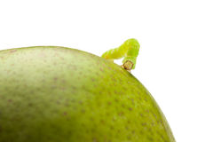 Codling moth caterpillar on pear. Macro of looper on green pear isolated on white Stock Photography