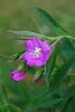 Codlins-e-crema (hirsutum del Epilobium) Immagine Stock