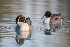 Codon pair of ducks in the delta of the Po stock images