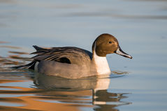 Codon in the Po delta at sunset. Pintail duck in the Po delta at sunset Stock Photography