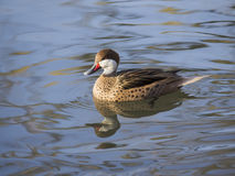 Codone delle Bahamas (Anas bahamensis). White-cheeked Pintail (Anas bahamensis) swims quietly in a small pond Royalty Free Stock Photo