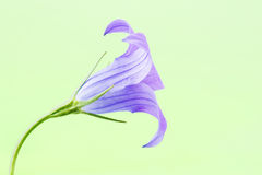 Codonopsis clematidea (Schrenk) Cklarke im Früjahr Wald Lizenzfreie Stockfotografie