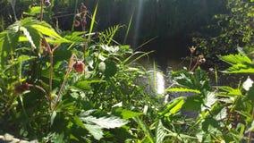 Codonopsis clematidea (Schrenk) Cklarke im Früjahr Wald Lizenzfreie Stockbilder