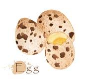 Codornices egg Ejemplo dibujado mano de la acuarela Fotografía de archivo libre de regalías