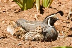 Codornices y polluelos de California fotos de archivo libres de regalías
