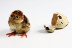 Codorniz e ovo da galinha Fotografia de Stock Royalty Free
