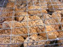 Codorniz em uma gaiola na exploração avícola, raça para ovos com cor selvagem natural Imagem de Stock