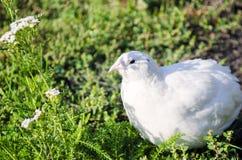 Codorniz em uma grama verde na primavera Fotografia de Stock
