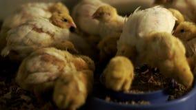 Codorniz pequenas das galinhas que comem o alimento dos alimentadores do pássaro na casa das aves domésticas vídeos de arquivo