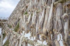 Cods at the drying racks, Lofoten, Norway
