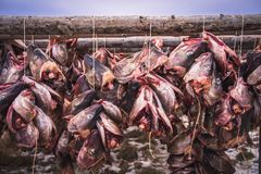 Cods at the drying racks