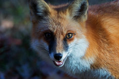 Cody Amber Eye. Cody the red fox close portrait with an amber eye Royalty Free Stock Photos