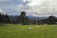 Coed Y Brenin Forest. Sheep graze in a field next to Coed Y Brenin forest with a view of the snow capped Rhinogs royalty free stock images