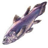Coelacanth鱼,矛尾鱼chalumnae,被隔绝,在白色的水彩例证 免版税库存照片