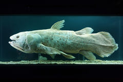 Coelacanth (chalumnae de Latimeria) Photos stock