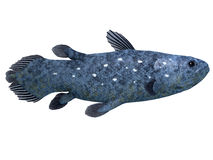 Coelacanth Fish on White. The Coelacanth fish was believed to be extinct but were discovered in 1938 to still be living royalty free illustration
