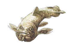 Coelacanth. Latimeria. Photo stock