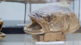 Coelacanth Latimeria chalumnae Lobbed-fin fish, Natural History Museum Naturhistorisches Museum . Fish specimens in the. Coelacanth Latimeria chalumnae Lobbed stock footage