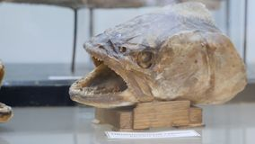 Coelacanth Latimeria chalumnae Lobbed-fin fish, Natural History Museum Naturhistorisches Museum . Fish specimens in the Royalty Free Stock Image