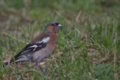 Coelebs del fringilla del pájaro Fotografía de archivo libre de regalías