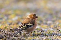 Coelebs fringilla птицы зяблика портрета близкого взгляда с семенем Стоковая Фотография RF
