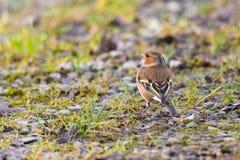 Coelebs fringilla птицы зяблика стоя на земле в sunligh Стоковая Фотография RF