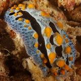 Coelestis de Phyllidia - Nudibranch Imagens de Stock Royalty Free