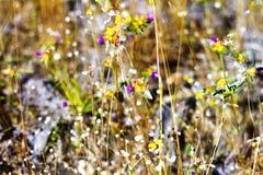 Coelestris de Burmania con la hierba seca Fotografía de archivo