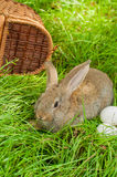 Coelhinho da Páscoa com os ovos na cesta Imagens de Stock