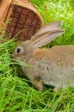 Coelhinho da Páscoa com os ovos na cesta Fotografia de Stock Royalty Free