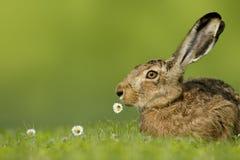 Coelhinho da Páscoa/lebre que senta-se no prado com a flor na boca Foto de Stock