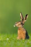 Coelhinho da Páscoa/lebre que senta-se no prado com a flor na boca Fotografia de Stock Royalty Free