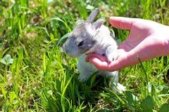 Coelho bonito do coelho do bebê nas mãos do fazendeiro fotos de stock royalty free