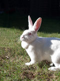 Coelho branco Foto de Stock