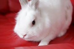 Coelho branco macio que senta-se em um sofá vermelho Imagem de Stock Royalty Free