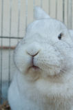 Coelho branco na gaiola Fotografia de Stock Royalty Free
