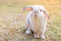 Coelho branco na grama Fotos de Stock Royalty Free