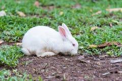 Coelho branco na grama Fotografia de Stock Royalty Free