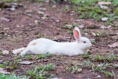 Coelho branco na grama Imagem de Stock