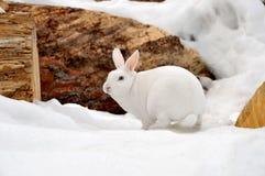 Coelho branco na neve Fotos de Stock