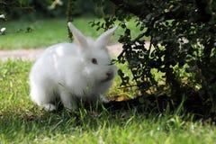 Coelho branco pequeno Foto de Stock Royalty Free