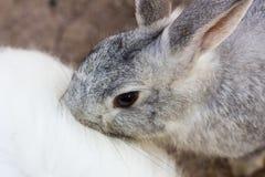 Coelho cinzento que beija para trás do outro coelho branco Imagem de Stock Royalty Free